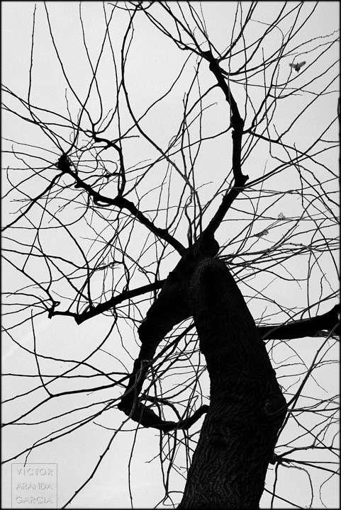 Fotografía de una morera en invierno