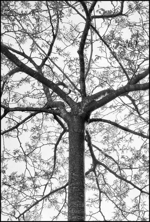 Fotografía en blanco y negro de un árbol con su estructura de ramas