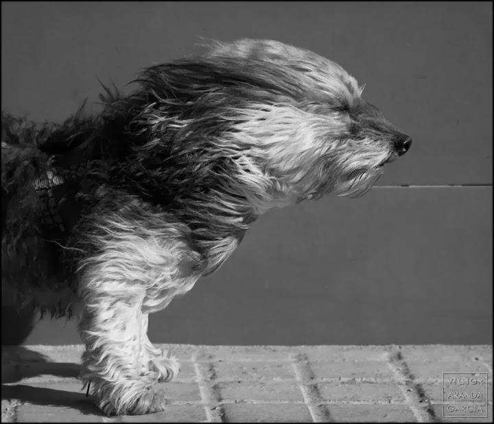 Fotografía en blanco y negro de un perro con el pelo movido por el viento