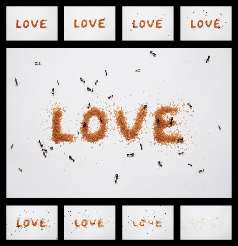 Fotografías de hormigas tomando el azúcar con el que ha sido escrita la palabra LOVE