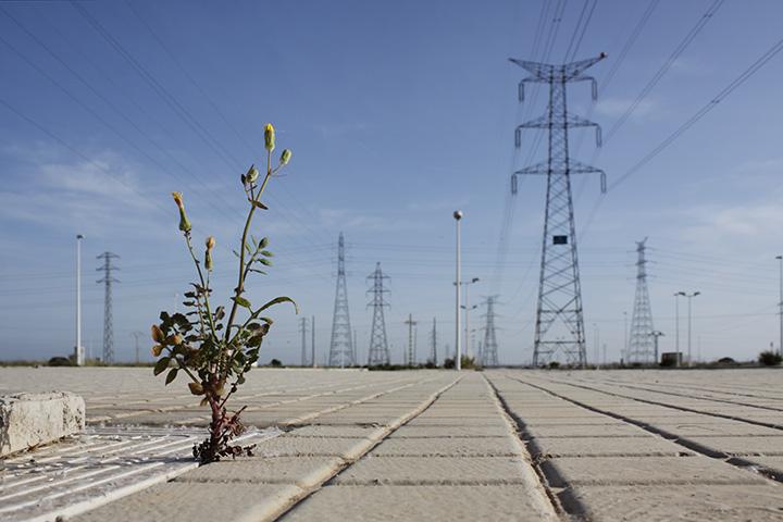 Fotografía de una planta a punto de florecer en medio de una acera con un campo de torres eléctricas de fondo