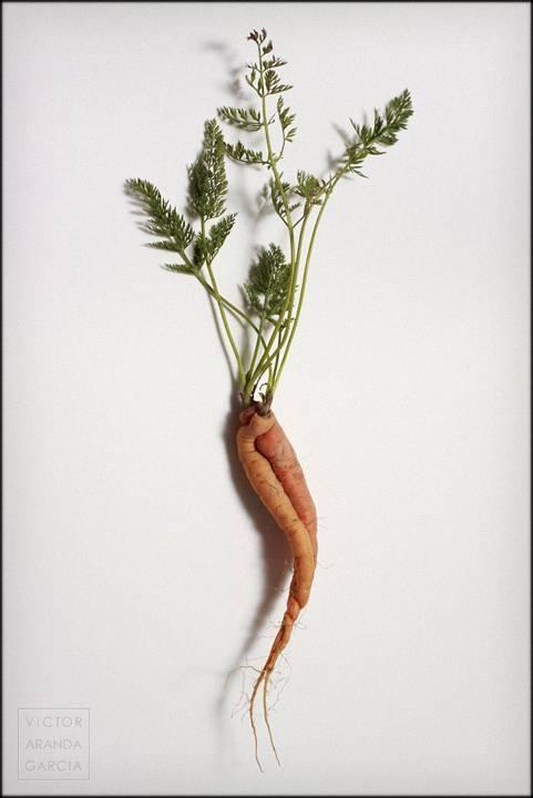 Fotografía de estudio de dos zanahorias entrelazadas sobre fondo blanco