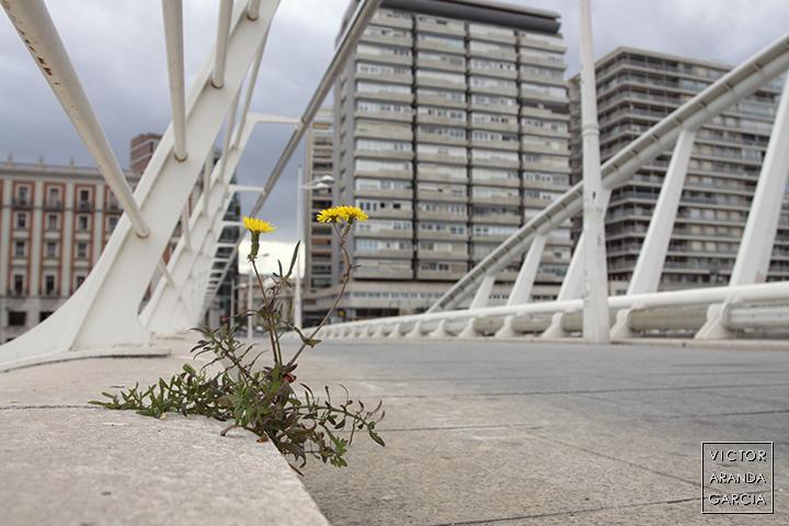 """Fotografía de una planta en flor crecida en el puente de Valencia que la gente conoce como """"la peineta"""""""