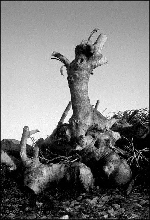 Fotografía en blanco y negro de un montón de troncos de árboles cortados con uno de ellos en pie