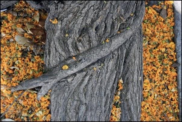 Fotografía de la raíz de un árbol rodeada de flores caídas