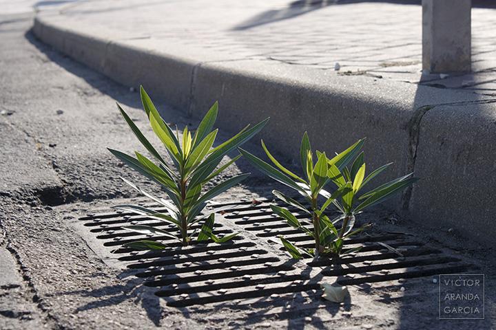 Fotografía de unas adelfas asomando a través de la rejilla de un desagüe en la calle