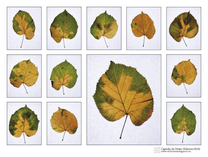 Composición de fotografías de hojas con los colores naturales del otoño sobre fondo blanco