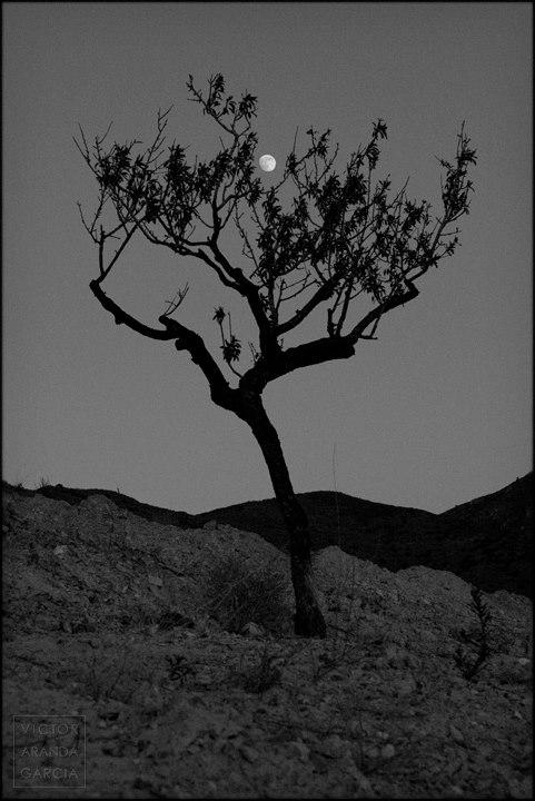 Fotografía en blanco y negro de la luna vista a través de las ramas de un almendro en el campo de Cartagena