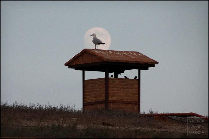 Fotografía de una gaviota sobre un tejadillo con la luna llena justo detrás del ave