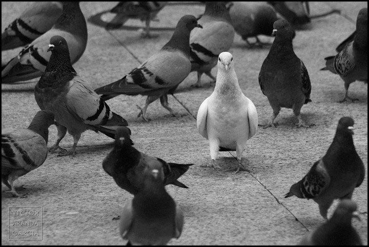 Fotografía de una paloma blanca rodeada de palomas oscuras