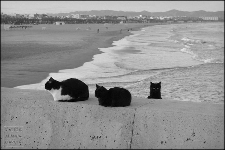 Fotografía en blanco y negro con dos gatos parados y uno asomando con la playa malvarrosa de fondo