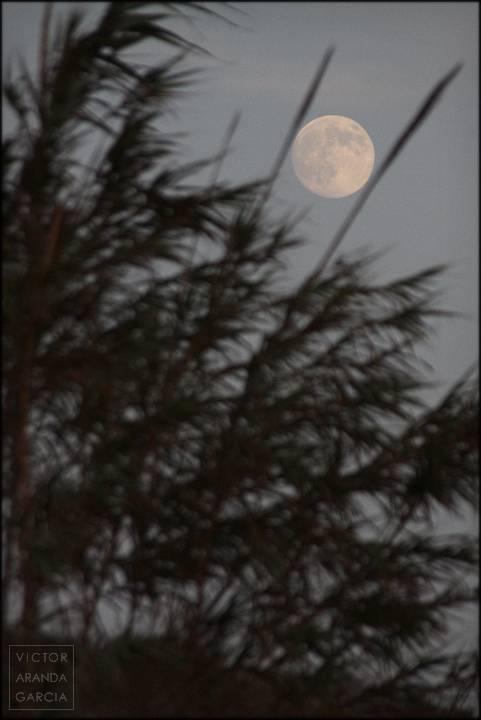 luna entre cañas
