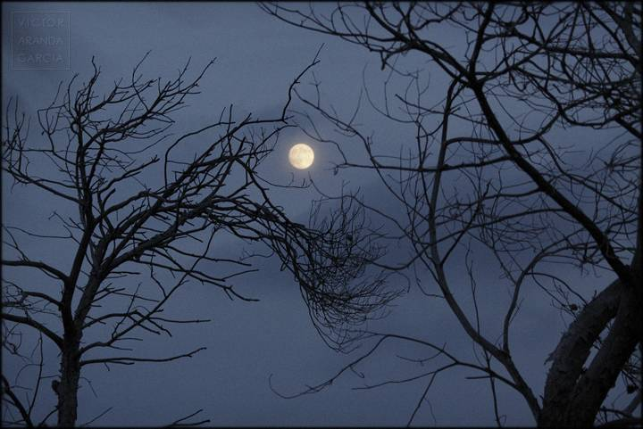 luna entre ramas de dos arboles