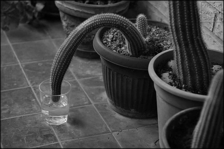 Fotografía de un cactus doblado sobre un vaso de agua