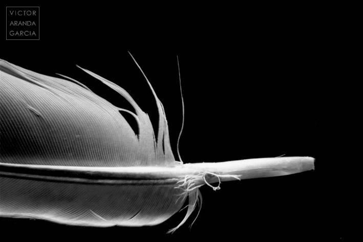 Fotografía de una pluma en estudio con fondo negro