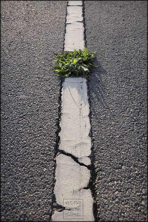 Fotografía de una planta creciendo en el suelo de una calle en una línea blanca