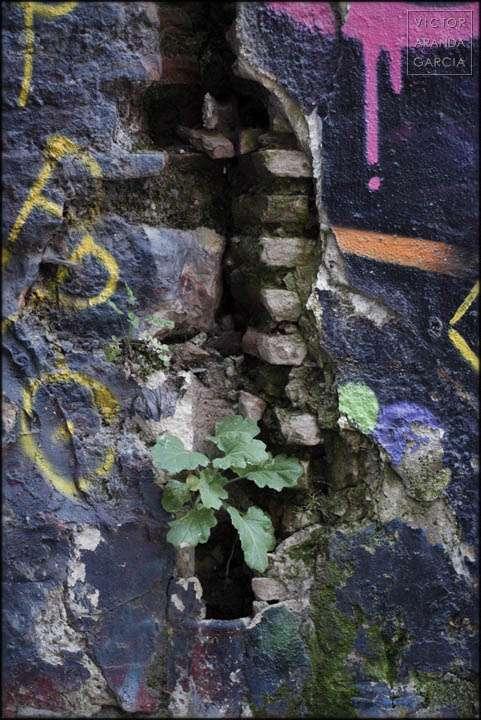 Fotografía de uan planta creciendo en un roto de una pared pintada con grafitis