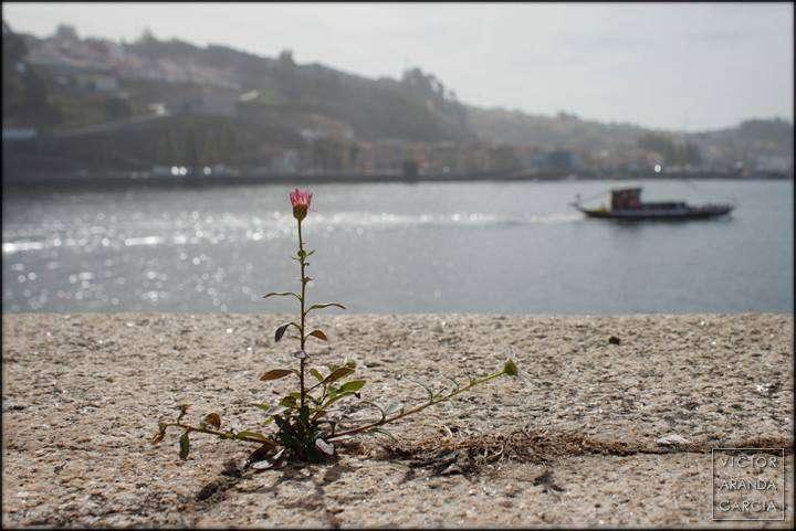 Fotografía de una flor creciendo en el suelo delante del rio Duero en Oporto con un barco pasando a la derecha