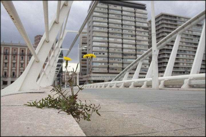 Fotografía de una flor creciendo en un puente de Valencia