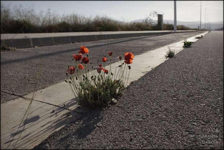 Fotografía de unas amapolas creciendo en una carretera