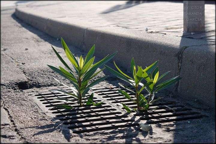 Fotografía de unas adelfas creciendo dentro de un desagüe en una calle de Cartagena
