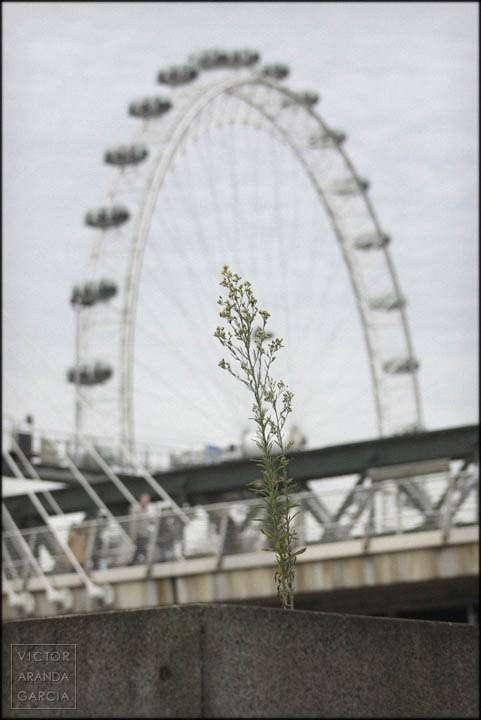Fotografía de una planta creciendo en Londres creciendo delante del London Eye
