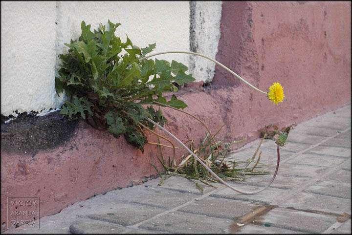 Fotografía de una flor amarilla creciendo en la parte baja de un muro