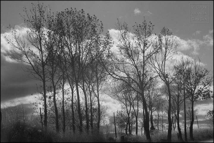 Fotografía en blanco y negro de un grupo de árboles esbeltos con un cielo nuboso de fondo